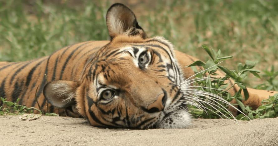 Jungle Stripes Keluaran Terkini Betsoft